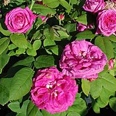 rose ulrich brunner fils