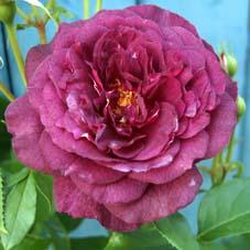 schwarze rosen kaufen